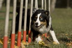 Free Agility - Dog Skill Competition. Stock Images - 25191634
