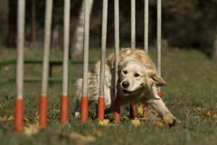 Agility - Dog skill competition. Royalty Free Stock Image