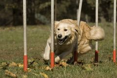 Agility - Dog skill competition. Stock Photography