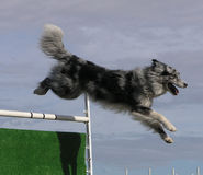 Agility Jumping Stock Images