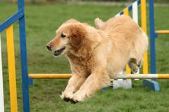 Agility jumping Royalty Free Stock Image