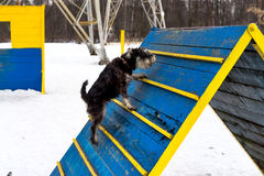 Agility. Miniature schnauzer jumping hurdle in a dog agility training area in a winter day stock photos