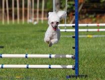 Agility Poodle royalty free stock photos