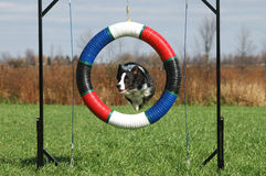 Agility tire. Border Collie jumping through tire Stock Photo