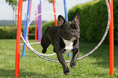 Agility training. Portrait of a jumping French bulldog during agility training Royalty Free Stock Images