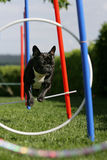 Agility training. Portrait of a jumping French bulldog during agility training Stock Photography