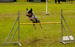 Agility training Stock Photo