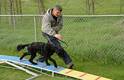 Agility Training. Portuguese Water Dog walking the plank with his owner in beginner agility class stock image