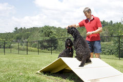 Agility Training - Portuguese Water Dogs Stock Photo