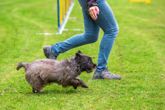 Agility training with a terrier. Agility training with an old Cairn Terrier Royalty Free Stock Images