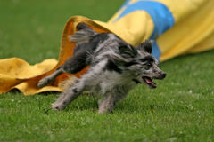 Agility tunnel. Pirenean shepherd running through tunnel royalty free stock photography