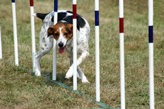 Agility Weave. Dog working agility weave poles Royalty Free Stock Image