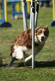 Agility weave poles Stock Photo