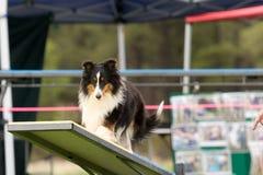 agilitykonkurrenshund royaltyfri bild