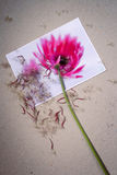 Aging. Aged gerbera steam with dry pink petals and seeds at the photo of fresh gerbera flower on cardboard background Stock Photo