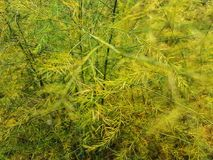 Aging asparagus fern Stock Photography