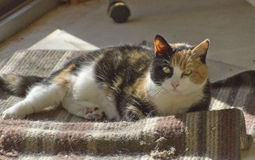 Aging Calico Cat Royalty Free Stock Photos
