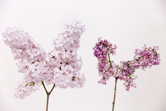 Aging concept. Fresh lilac branch vs faded, dry, wilted lilac branch Royalty Free Stock Photos