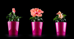 Aging concept from Hibiscus flower life cycle Royalty Free Stock Photo