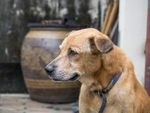 Aging dog looking sad Because of sick and lack of treatment.  stock photography