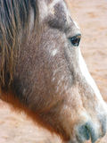 Aging Horse Profile Royalty Free Stock Photography