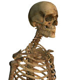 Aging human skeleton Stock Photos