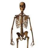 Aging human skeleton Royalty Free Stock Image