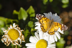Aging: Painted Lady Butterfly and Daisy Royalty Free Stock Image