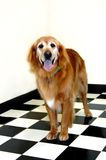 Aging Pet Dog Royalty Free Stock Photo