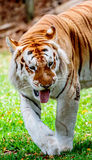 Aging Tiger Royalty Free Stock Images