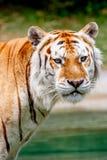 Aging Tiger Stock Photos