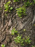 Aging tree royalty free stock images
