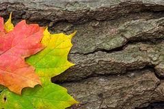 Aging. Two autumn multi-colored maple leaves, rest side by side on a cracked dying log stock images