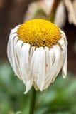 Aging yellow daisy Stock Image