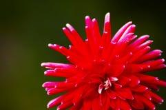 Aginst rosso del fiore i precedenti Fotografia Stock