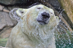 Agitação da água do urso polar Foto de Stock Royalty Free