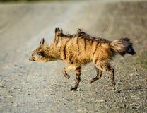 Agitação do Aardwolf Imagem de Stock Royalty Free