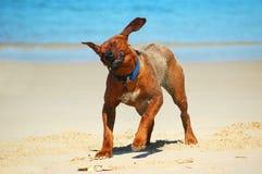 Agitação do cão fotos de stock