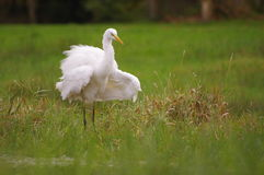 Agitação do grande egret Fotografia de Stock