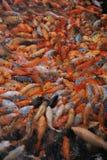 Agitação dos peixes Imagem de Stock Royalty Free