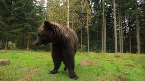Agitações engraçadas do urso video estoque