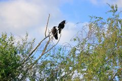 Agitated Blackbird and His Mate. Agitated, a Blackbird calls out as his mate sits perched beside him on a bare tree branch stock photography