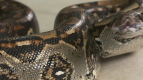 Agitated boa constrictor, Costa Rica, C. America. Extreme close-up low-angle, panning shot of an agitated boa constrictor raising its head and drooling with its stock footage
