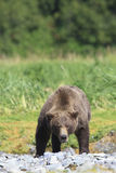 Agitated brown bear boar displaying warning signs Royalty Free Stock Photo