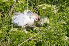 Agitated Cattle Egret In The Branches. An agitated Cattle Egret in the branches with wings up and feathers ruffled stock photos