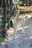 Agitated Cheetahs. Pacing next to a fence in the afternoon sun royalty free stock photo
