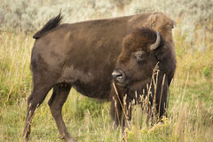 Agitated female bison gesturing in field, Yellowstone National P. Single large bison, side view, standing with head turned toward camera and tail swishing stock images