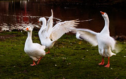 Agitated geese Stock Photo