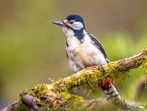 Agitated Great spotted woodpecker. (Dendrocopos major) on a branch with moss in central european forest Royalty Free Stock Images