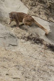 Agitated lion swatting ground with paw. Very agitated mountain lion with paw extended Royalty Free Stock Photography